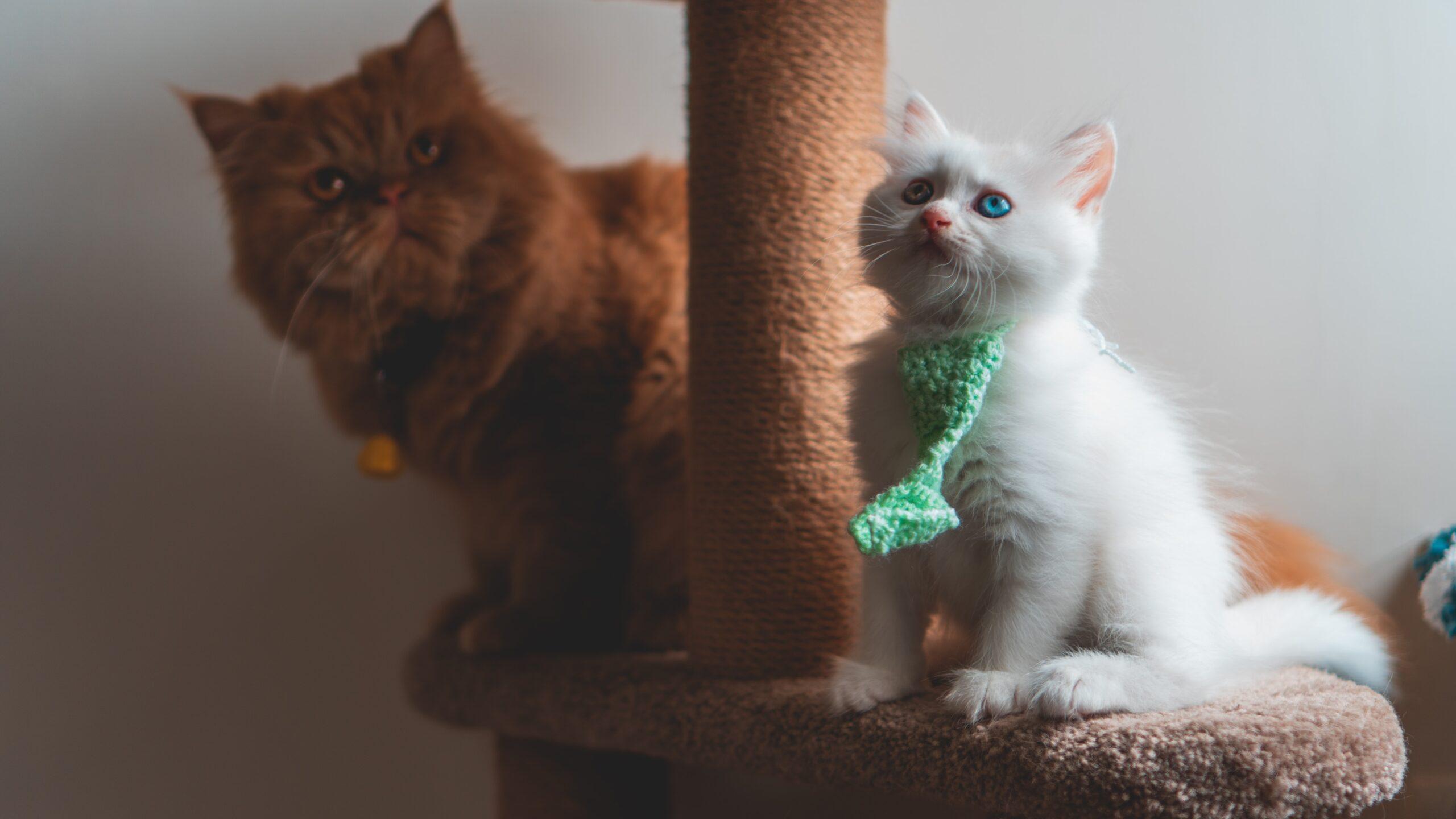 Gato Persa, mundo de los gatos