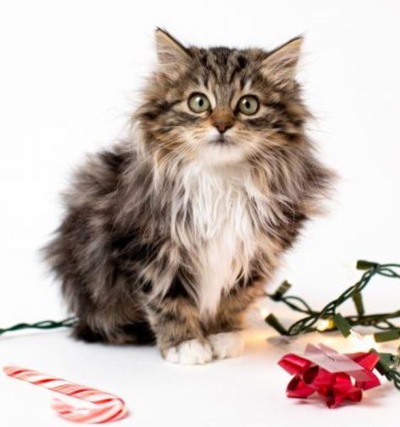 Gatos pelo semilargo